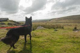 Hund im Bodmin Moor mit Blick in die Moorlandschaft, Bodmin Moor, Cornwall