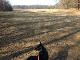Hund schaut auf Rasenfläche hinterm Nymphenburger Schloßpark