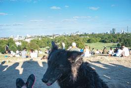 Bordermix Hund auf dem Primrose Hill mit Blick auf London