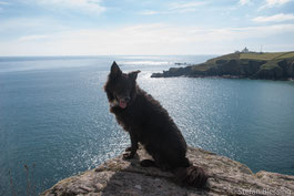 Hund auf Felsen am Meer, Coast Path zwischen Lizard und Cadgwith, Cornwall