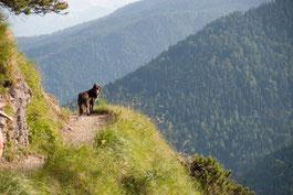 Abstieg Herzogstand: Hund auf Berg blickt zurück vor Kurve