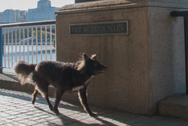 Bordermix Hund Nala am Queen's Walk an der Themse in London
