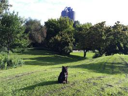 Hund auf Rasen im Olympiapark mit BMW Vierzylinder im Hintergrund