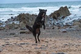 Hund springt auf Hinterpfoten am Meer, Coast Path bei Bude, Cornwall