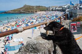 Hund stellt sich am Geländer von Harbour Beach in  St. Ives, Cornwall hoch