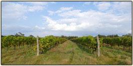 Lausitzer Weinfreunde Weinberg Rico Leonhardt aus Bad Liebenwerda
