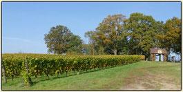 Lausitzer Weinfreunde Weinberg vom Weingut Patke in Grano bei Guben