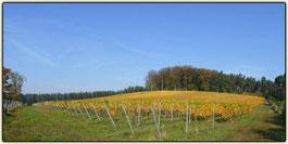 Lausitzer Weinfreunde Weinberg von Hubert Marbach aus Jerischke bei Forst