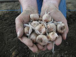 plantation de safran en Creuse