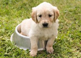Un chiot golden beige assis dans sa gamelle par coach canin 16 éducateur canin en charente