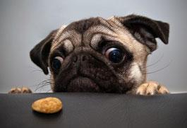 un chien carlin les deux pattes sur une table regarde une croquette par coach canin 16 educateur canin en charente