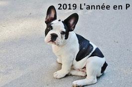 un chiot bouledogue francais noir et blanc assis par coach canin 16 éducateur canin charente