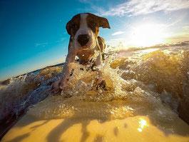 un chien blanc et marron sur une planche de surf par coach canin 16 éducateur canin en charente