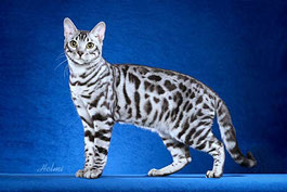 Silver Spotted Bengalkatze