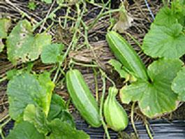 当神社で現在も栽培している 玉造黒門越(白)瓜:たまつくりくろもんしろうり