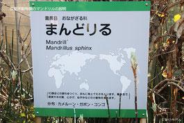 京都市動物園のマンドリルの説明