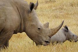 Kenia Safari Nashörner, Ol Pejeta