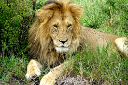 Löwe auf einer Tansania Safari