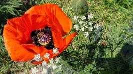 Klatschmohnblüte mit Hummel-Füllung