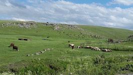 Schafherde im Dorf Ardenis