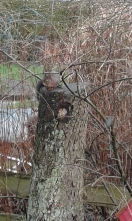 Eichhörnchen auf Birnenstamm im Korfmacher Garten Hiddenhausen 2018