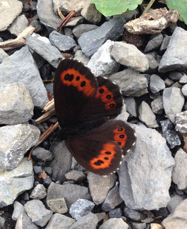 ... zum prachtvollen Schmetterling ...