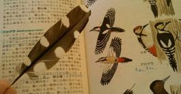 アカゲラの風切羽を拾いました!美しいですね〜