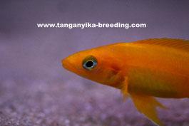 Neolamprologus leleupi 'Karilani' orange, Неолампрологус, Неолампрологус лелеупи оранж