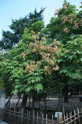 Hiroshima, Japon : arbre survivant.