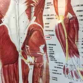 小殿筋はインナーマッスルともいわれており腰痛でも硬くなる筋肉です