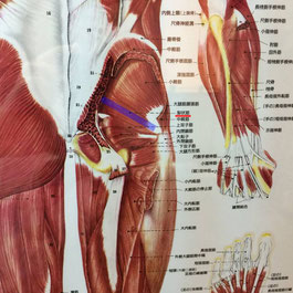 梨状筋は坐骨神経痛のしびれや腰痛の重要ポイントです。下半身の血行にも作用します。