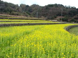 志田の菜の花