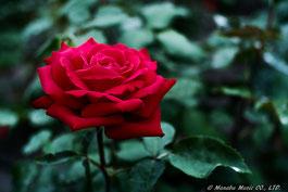 最近、オールドレンズで撮ったバラ