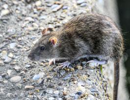 a quoi ressemble un rat ou un surmulot