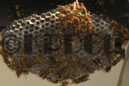 アシナガバチの被害