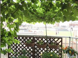デラウェア(ぶどう)の葉の数が増え、大きさもずいぶん大きくなりました。緑がとても涼しげです