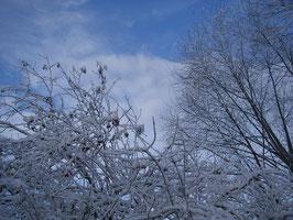 Калина снежно-красная