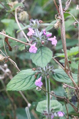 vereinzelt blüht am Wegrand noch der Wirbeldost (Clinopodium vulgare) mit seinen hellpurpurnen Blüten