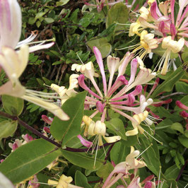 Honeysuckle in Wraycroft Cottages graden
