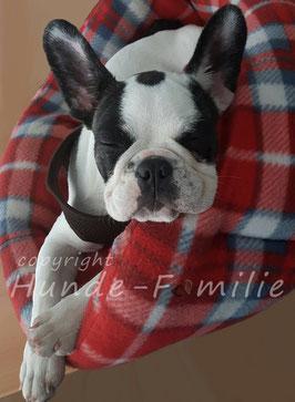 Paula, französische Bulldogge aus Ismaning