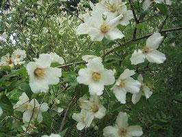 香りが良い白い花