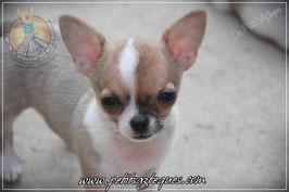 Nina fait partie des tout derniers chihuahuas Des Petits Aztèques
