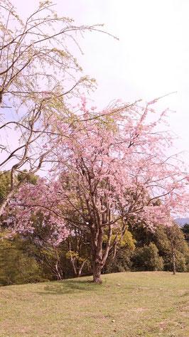 一本桜の写真フリー素材 Photo free material of one cherry tree