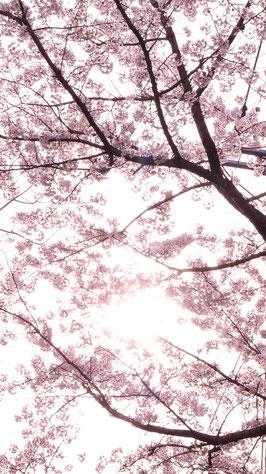 輝く桜の写真フリー素材 Shining cherry blossom photo free material