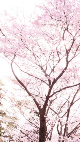 春らしい桜の写真フリー素材 Spring-like cherry blossom photo free material