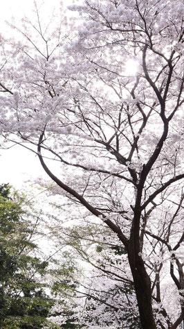 逆光で撮った桜の写真フリー素材 Photo free material of cherry blossoms taken against the sun