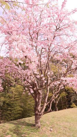 山に咲く桜の写真フリー素材 Photo free material of cherry blossoms blooming in the mountains