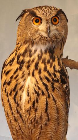 ベンガルワシミミズク、ミミズク、鳥、小動物、動物の写真フリー素材 Bengal Eagle Owl, Indian Eagle Owl, Birds, Small Animals, Animals Photos Free Material
