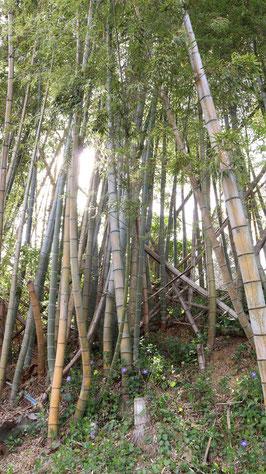 春の竹林と小さい花の画像写真フリー素材 Spring bamboo grove and small flowers image photo free material