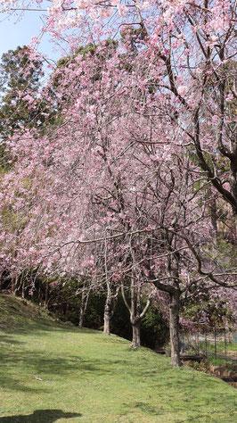 しだれ桜の写真フリー素材 Weeping cherry blossom photo free material